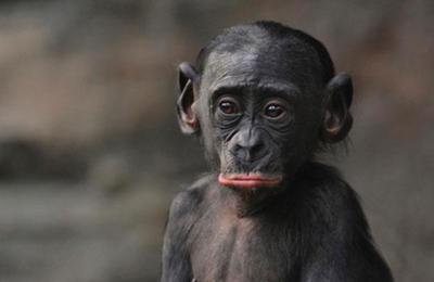 ボノボの画像 p1_29
