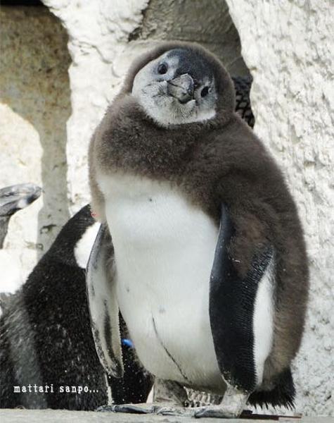 ペンギン ザビエル