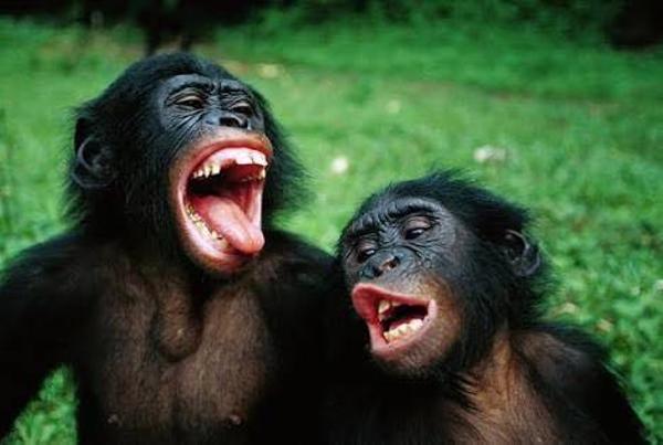 チンパンジー サル ゴリラ