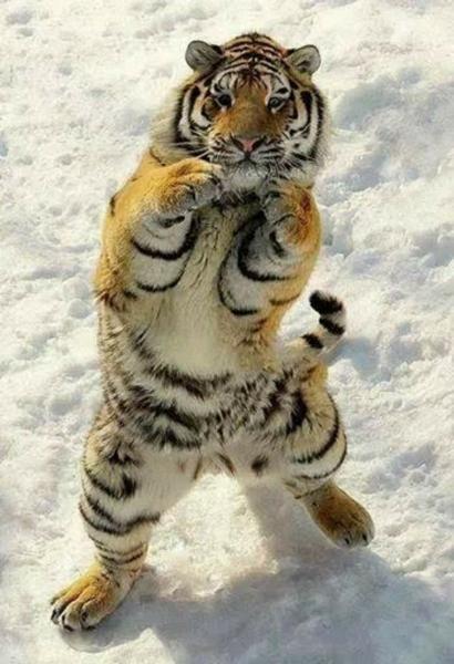 虎の画像 p1_9