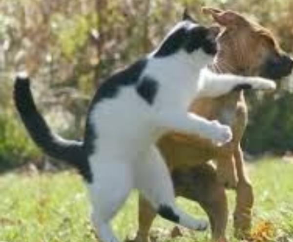 猫界の吉田沙保里 vs 訓練された警察犬 , 犬へのボケ[73793901