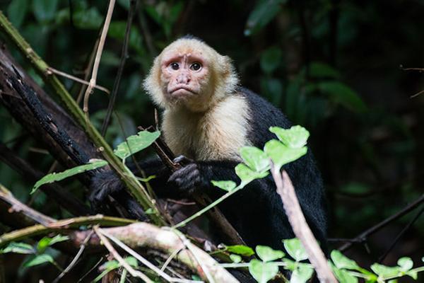 この猿が、新種の「加藤嘉」です。 - 白い頭のオマキザルへのボケ ...