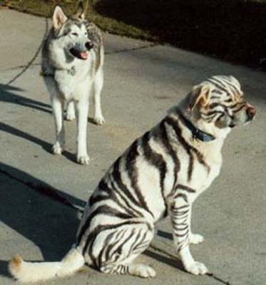 「おれは狼だ。喰われたくなかったらそれ以上近づk「アニキ…トラとかカッコいいっす!」 - ペットへのボケ ...