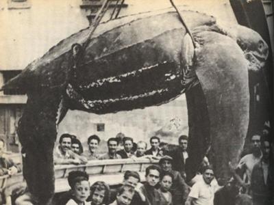 世界最大のカメ , 2014年03月23日夜ごろにアンバーさんが投稿