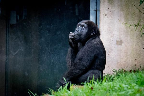 チンパンジー iq
