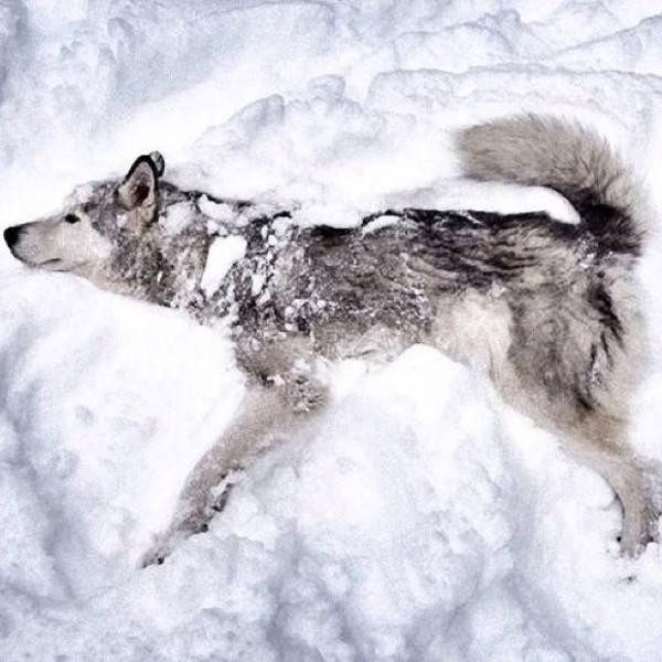 永久凍土から発掘されました。 - 2015年09月24日の動物のボケ[35862745 ...